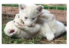 Well Tamed White Tiger Cubs , Cheetah Cubs ,panther Babies , Lion Cubs And Sheeps
