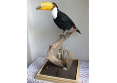 Breeding Pair of Toco Toucans Parrots for sale