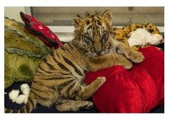 Adorable Tigers,Cheetah Cubs For Sale