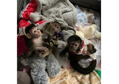 Lovely male and female Capuchin Monkeys available