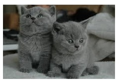 Nice looking Male and Female British short hair Kittens