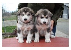 Lovely Alaskan Malamute Puppies for sale