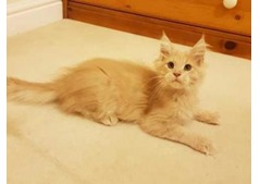 Male and female Maine Coon Kitten for sale