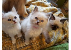 Lovely Ragoll kittens available for sale