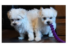 Our adorable male and female Maltese puppies are trusting
