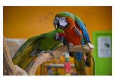 Beautiful African Parrots for sale