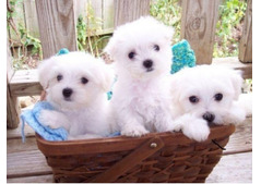 Cute Male and female Maltese puppies Available.