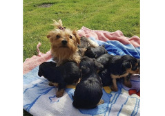 yorkies and puppies for sale