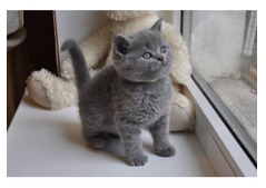 Male and Female British shorthair Kittens for Rehoming
