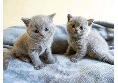 Healthy male and female British shorthair Kittens for Rehoming