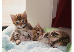 Friendly male and females Bengal Kittens for Adoption