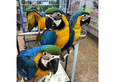 Blue and Gold Macaw Now Available.