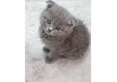 Scottish Fold kittens available for adoption