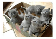 British Shorthair kittens available for adoption