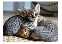 Lovely Bengal kittens available for adoption