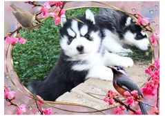 Adorable Siberian Husky Puppies for Rehoming