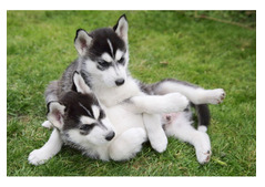 Cute and Adorable Siberian Husky Puppies for Rehoming