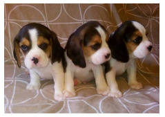 Adorable Beagle Puppies for Rehoming