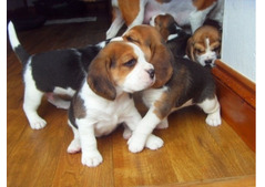 Playful Beagle Puppies for Rehoming