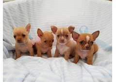 Lovely Chihuahua litter for re homing