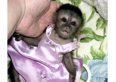 9 weeks old baby capuchin monkeys for sale