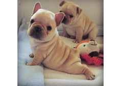 Cute and Adorable French Bulldogs Puppies for Rehoming