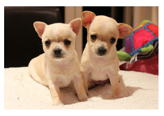 Adorable and Lovely Chihuahua litter for re homing