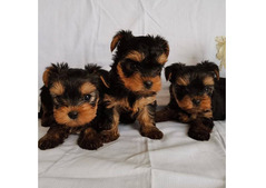 Cute and Adorable Yorkie Puppies +971586625302