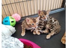 Beautiful male and females Bengal Kittens for Adoption