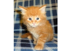 Munchkin Kittens for Rehoming