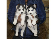 Purebred Husky puppies for sale