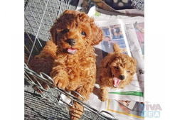 Toy Male and Female Poodle puppies for sale