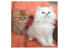 Lovely Male And Female Siberian Kittens For Rehoming