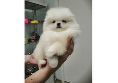 Stunning Pomeranian available for sale