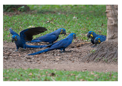 Hyacinth Macaw Parrots and eggs for sale