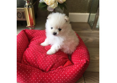 Beautiful Pomerania  Puppies for  Rehoming