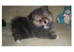 Active Pom For adoption