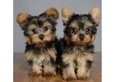 Deriner Yorkie Puppies Available