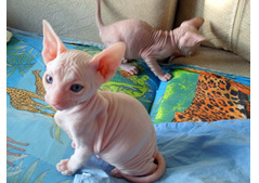 Lovely  Sphynx kittens Available for Rehoming