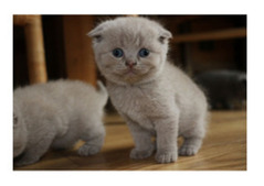 Lovely Scottish Fold Kittens for Adoption