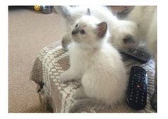 Lovely Male And Female Ragdoll Kittens For Rehoming