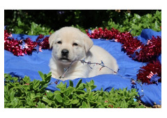Stunning Labrador available for sale