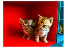 Playful male and females Bengal Kittens for Rehoming