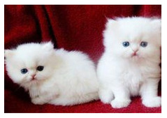 Friendly Persian Kittens for Rehoming