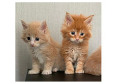 Adorable Male And Female Siberian Kittens For Rehoming