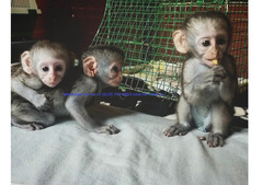 Capuchin monkeys males and females available for sale