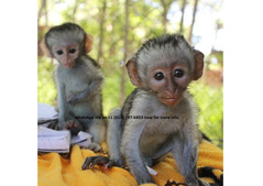 We have 2 cute and adorable capuchins monkeys for sale.