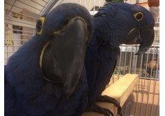 Hyacinth Macaw Parrots with Cage for Sale