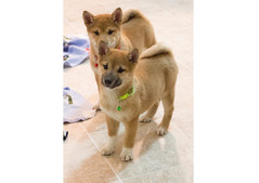 Shiba Inu puppies for sale call/WhatsApp = +971557494855