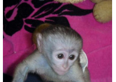 Socialized Baby Capuchin Monkeys for sale